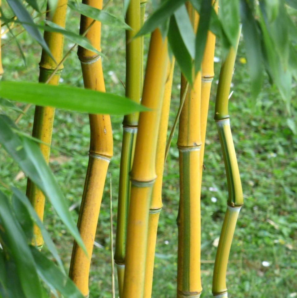 bamboo-3480271_1280[1] copy